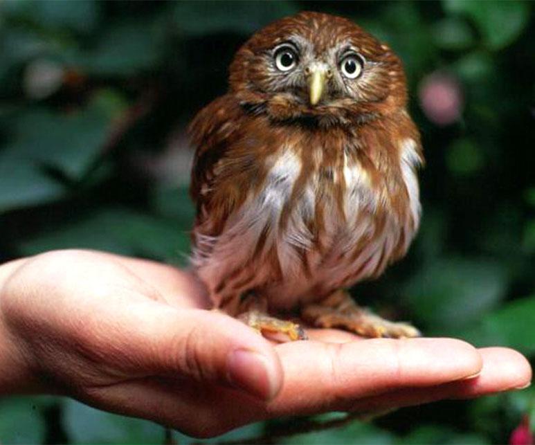最も小柄なアカスズメフクロウ